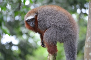This titi monkey posed for me--on Monkey Island, near Iquitos, where orphaned monkeys are rescued and rehabilitated.