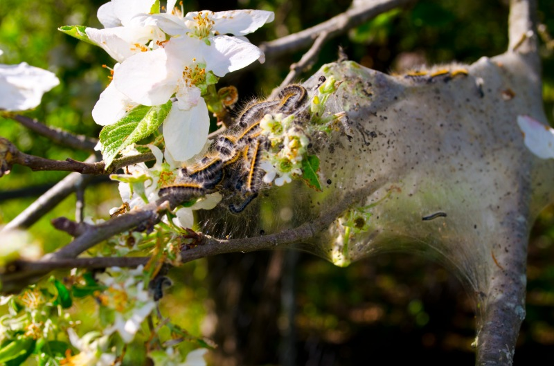 Apple blossom with invading (I think) catepillars
