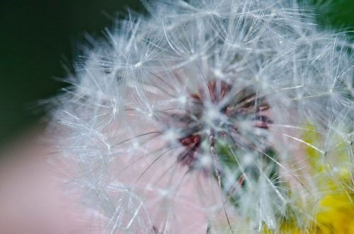 Dandelion poof before the wind took its little seedlings away
