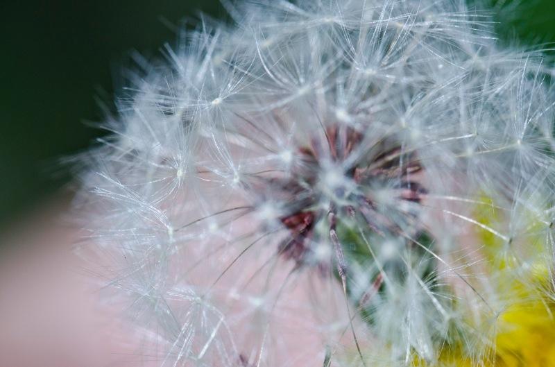 Dandelion poof before the wind took its little seedlings away