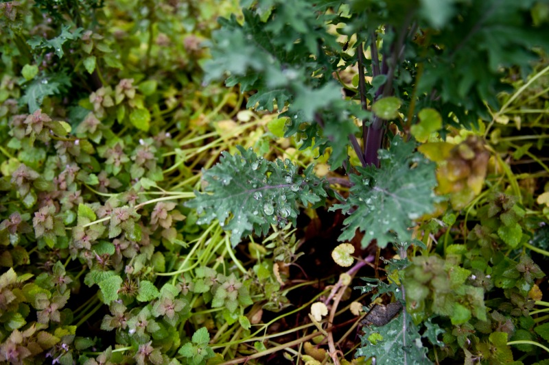 Purple Dead Nettle, responds to a rainy day, while rain-dropped kale stands unpurturbed