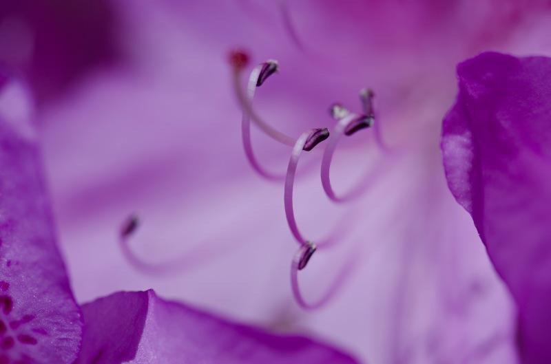 Purply pink azalea