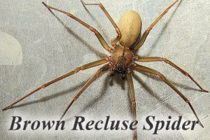 Aunt Nancy Brown Recluse