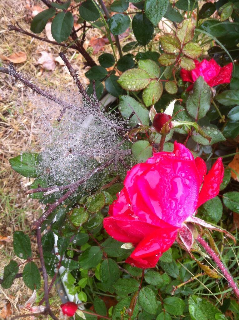 Brandi's Rose and Spider Cluster