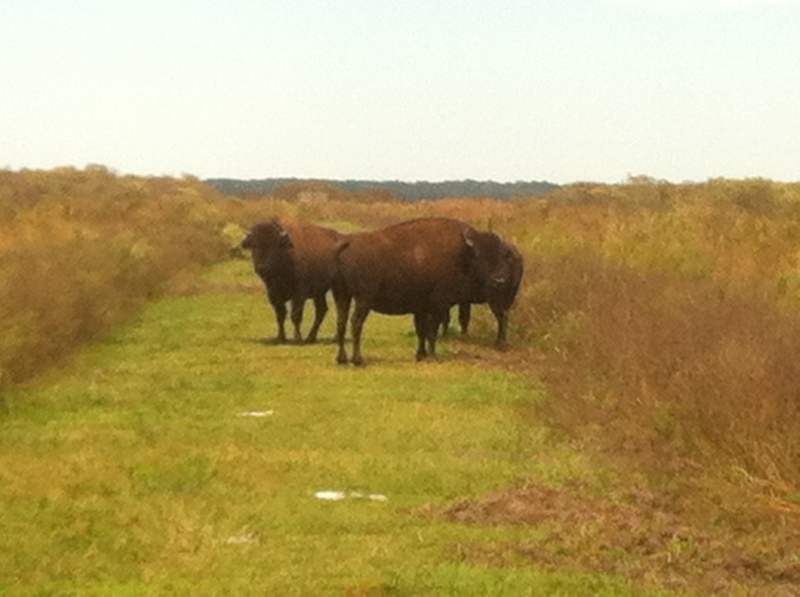 Three Buffalo Consider Me