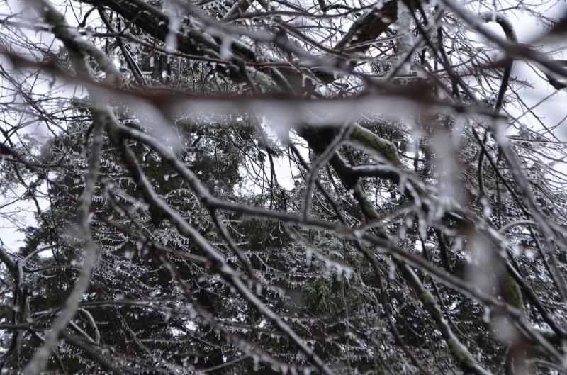 Cedar tree in the back yard