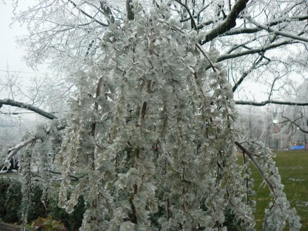 Ice flowers bursting on branches